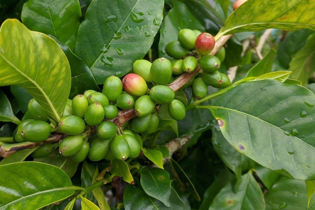granos de café orgánico