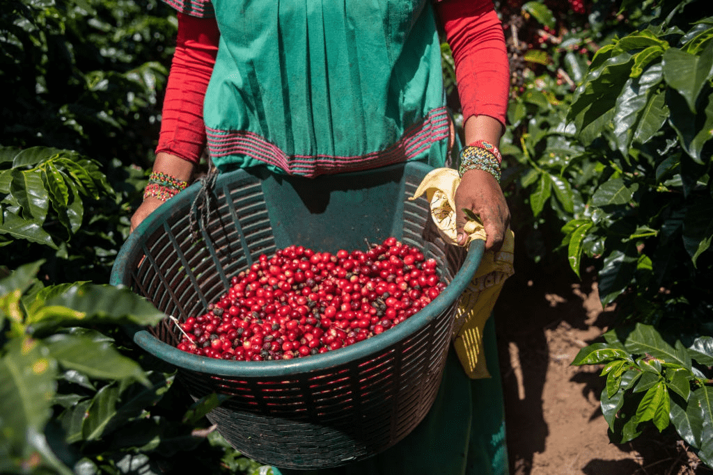mujer transportando planta de café orgánico