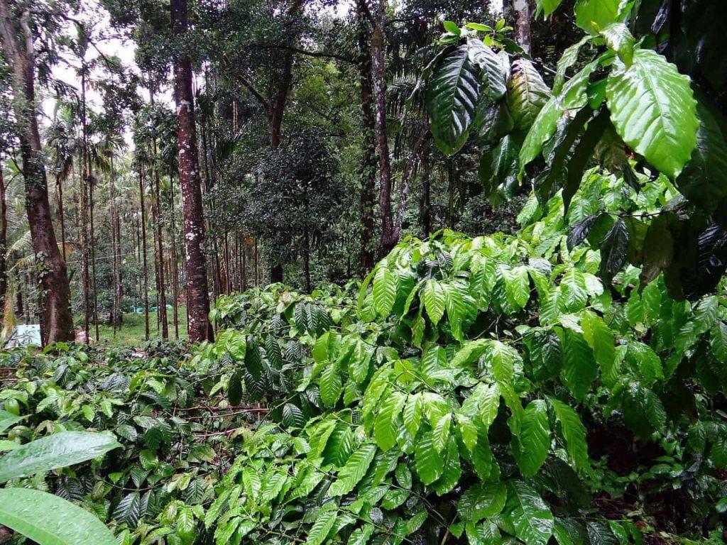 plantación de café orgánico